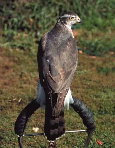Ptaki Drapieżne Wykorzystywane W Sokolnictwie Sokolnictwo Dla